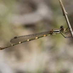 Austrolestes leda (Wandering Ringtail) at Illilanga & Baroona - 12 Nov 2017 by Illilanga