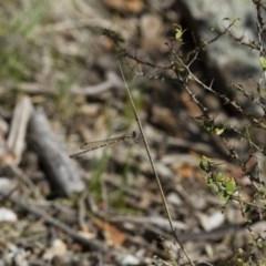 Austrolestes leda at Michelago, NSW - 12 Nov 2017