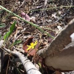 Tricoryne elatior at Red Hill Nature Reserve - 16 Dec 2017