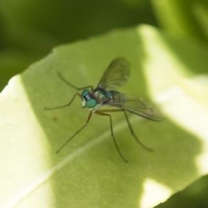 Dolichopodidae sp. (family) at Michelago, NSW - 12 Nov 2017
