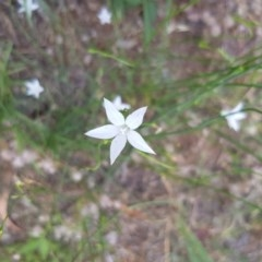 Wahlenbergia sp. (Bluebell) at Griffith Woodland - 17 Dec 2017 by ianandlibby1