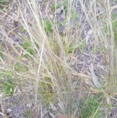Austrostipa scabra subsp. falcata (Rough Speargrass) at Griffith Woodland - 16 Dec 2017 by ianandlibby1