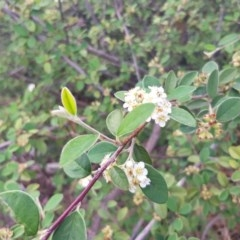 Cotoneaster pannosus (Cotoneaster) at Griffith Woodland - 16 Dec 2017 by ianandlibby1