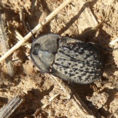 Helea ovata (Pie-dish beetle) at Dunlop, ACT - 16 Dec 2017 by Christine