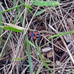 Dindymus versicolor (Harlequin bug) at Jerrabomberra Wetlands - 16 Dec 2017 by RodDeb