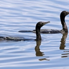 Phalacrocorax sulcirostris (Little Black Cormorant) at Jerrabomberra Wetlands - 17 Dec 2017 by RodDeb