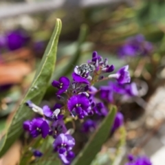 Megachile sp. (several subgenera) at Illilanga & Baroona - 6 Oct 2017