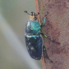 Lamprima aurata (Golden stag beetle) at Tidbinbilla Nature Reserve - 17 Dec 2017 by roymcd
