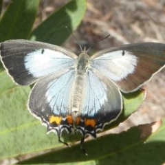 Jalmenus evagoras (Imperial Hairstreak) at ANBG - 17 Dec 2017 by Christine