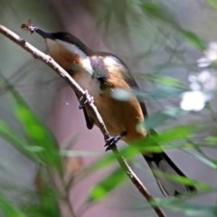 Acanthorhynchus tenuirostris (Eastern Spinebill) at ANBG - 17 Dec 2017 by RodDeb
