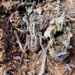 Tasmanicosa sp. (genus) (Unidentified Tasmanicosa wolf spider) at Jerrabomberra Grassland - 15 Dec 2017 by HarveyPerkins