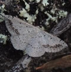 Taxeotis intextata (Looper Moth, Grey Taxeotis) at Greenway, ACT - 18 Dec 2017 by michaelb
