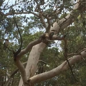 Dacelo novaeguineae at Red Hill Nature Reserve - 18 Dec 2017