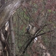 Dacelo novaeguineae (Laughing Kookaburra) at Red Hill Nature Reserve - 20 Dec 2017 by KL