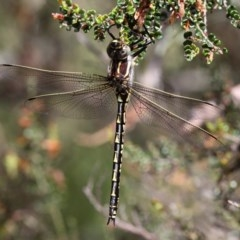 Notoaeschna sagittata (Southern Riffle Darner) at Namadgi National Park - 11 Dec 2017 by HarveyPerkins