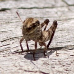 Gastrimargus musicus (Yellow-winged Locust or Grasshopper) at Namadgi National Park - 21 Dec 2017 by JudithRoach