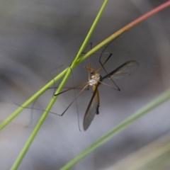 Leptotarsus (Leptotarsus) sp.(genus) at Illilanga & Baroona - 15 Nov 2017