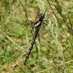 Eusynthemis guttata (Southern Tigertail) at Namadgi National Park - 21 Dec 2017 by JohnBundock