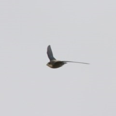 Hirundapus caudacutus (White-throated Needletail) at Illilanga & Baroona - 19 Jan 2013 by Illilanga
