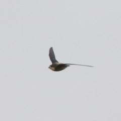 Hirundapus caudacutus (White-throated Needletail) at Illilanga & Baroona - 19 Jan 2013 by Illilanga