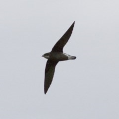 Hirundapus caudacutus (White-throated Needletail) at Illilanga & Baroona - 10 Jan 2015 by Illilanga