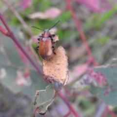 Ecnolagria grandis (Honeybrown beetle) at Gowrie, ACT - 16 Nov 2016 by RyuCallaway