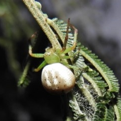 Lehtinelagia prasina (Leek-green flower spider, crab spider) at Gowrie, ACT - 16 Nov 2016 by RyuCallaway