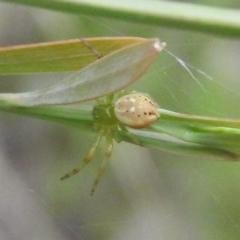 Lehtinelagia sp. (genus) (Flower Spider or Crab Spider) at Fadden, ACT - 18 Nov 2016 by RyuCallaway