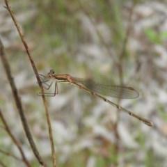 Austrolestes analis (Slender Ringtail) at Fadden, ACT - 18 Nov 2016 by RyuCallaway