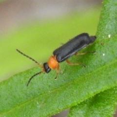 Heteromastix sp. (genus) (Soldier beetle) at Fadden, ACT - 18 Nov 2016 by RyuCallaway