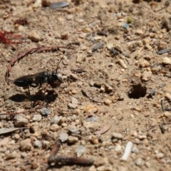 Sphex sp. (genus) (Unidentified Sphex digger wasp) at Hughes, ACT - 22 Dec 2017 by zebras