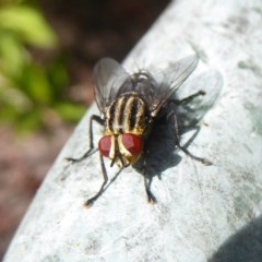 Sarcophagidae sp. (family) (Unidentified flesh fly) at Flynn, ACT - 18 Dec 2017 by Christine