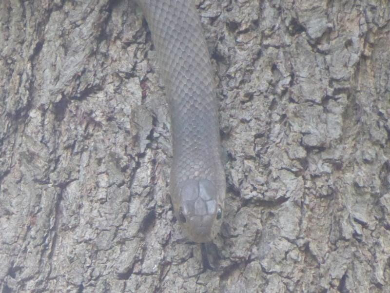 Pseudonaja textilis at Jerrabomberra Wetlands - 21 Dec 2017
