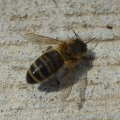 Apis mellifera (European honey bee) at Jerrabomberra Wetlands - 20 Dec 2017 by Christine