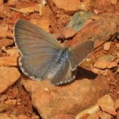 Zizina otis (Common Grass-blue) at Brindabella National Park - 20 Dec 2017 by JohnBundock