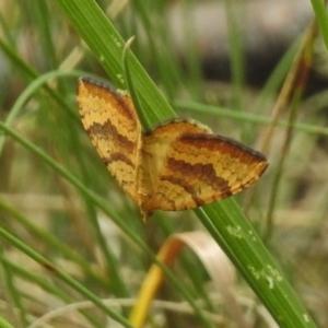 Chrysolarentia correlata at Namadgi National Park - 21 Dec 2017