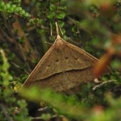 Epidesmia hypenaria (Long-nosed Epidesmia) at Bimberi Nature Reserve - 21 Dec 2017 by JohnBundock