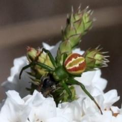 Australomisidia rosea (Rosy Flower Spider) at Gibraltar Pines - 3 Dec 2017 by HarveyPerkins