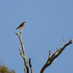 Falco longipennis (Australian Hobby) at Illilanga & Baroona - 1 Apr 2013 by Illilanga