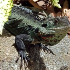 Intellagama lesueurii (Australian Water Dragon) at Molonglo Valley, ACT - 21 Dec 2017 by RodDeb