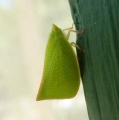 Siphanta acuta (Green planthopper, Torpedo bug) at Flynn, ACT - 21 Dec 2017 by Christine
