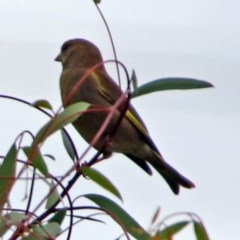 Chloris chloris (Common Greenfinch) at Jerrabomberra Wetlands - 23 Dec 2017 by RodDeb