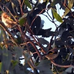 Carduelis carduelis at Jerrabomberra Wetlands - 23 Dec 2017