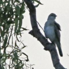 Lalage tricolor (White-winged Triller) at Jerrabomberra Wetlands - 23 Dec 2017 by RodDeb