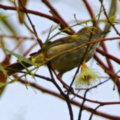 Acanthiza pusilla (Brown Thornbill) at Jerrabomberra Wetlands - 22 Dec 2017 by RodDeb