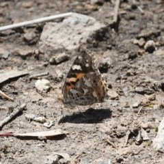 Vanessa kershawi (Australian Painted Lady) at Illilanga & Baroona - 13 Nov 2017 by Illilanga