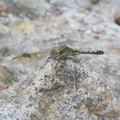 Orthetrum caledonicum (Blue Skimmer) at Mount Taylor - 26 Dec 2017 by MatthewFrawley