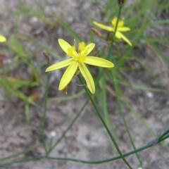 Tricoryne elatior (Yellow Rush Lily) at Mount Taylor - 26 Dec 2017 by MatthewFrawley