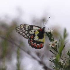 Delias aganippe (Spotted Jezebel) at Mount Taylor - 26 Dec 2017 by MatthewFrawley