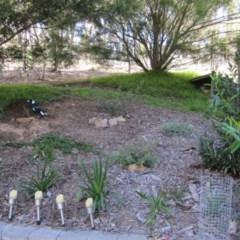 Gymnorhina tibicen (Australian Magpie) at Wamboin, NSW - 28 Apr 2012 by natureguy